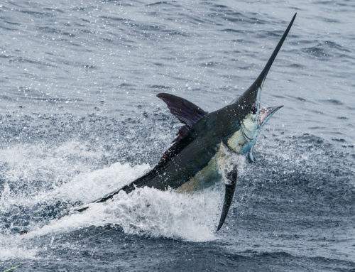 Braman Named Top Tagging Angler for Blue Marlin in the Pacific Ocean by the Billfish Foundation