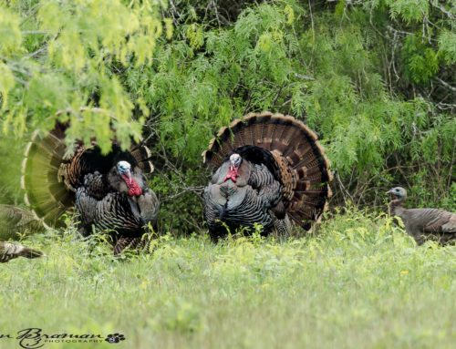 Turkey Season Approaches