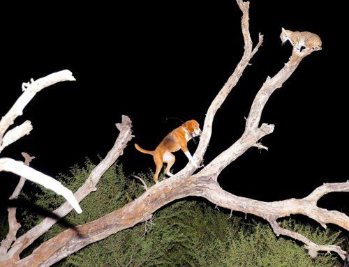 First Bobcat